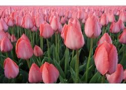 103740,地球,郁金香,花,花,壁纸图片