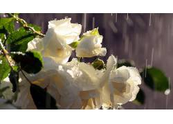 104116,地球,玫瑰,花,水,滴,雨,花,壁纸图片