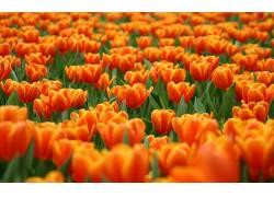 104163,地球,郁金香,花,花,壁纸图片