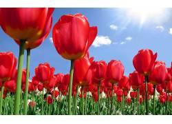 104169,地球,郁金香,花,花,壁纸图片