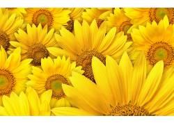 107377,地球,向日葵,花,艺术的,花,壁纸图片