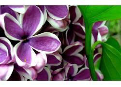 110317,地球,淡紫色,花,花,壁纸图片