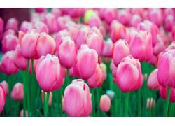 105091,地球,郁金香,花,花,领域,粉红色,花,壁纸图片