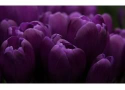 102519,地球,郁金香,花,花,壁纸图片