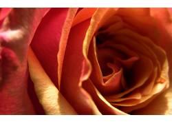 110478,地球,玫瑰,花,花,壁纸
