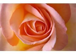 110507,地球,玫瑰,花,花,壁纸