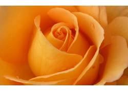 110509,地球,玫瑰,花,花,壁纸