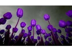 96077,地球,郁金香,花,花,壁纸图片