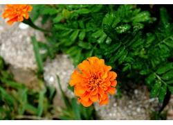 96087,地球,万寿菊,花,花,壁纸