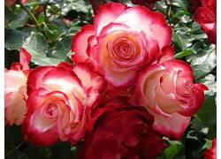96178,地球,玫瑰,花,壁纸