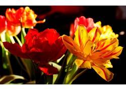 117038,地球,郁金香,花,花,壁纸图片