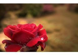 74515,地球,玫瑰,花,花,壁纸