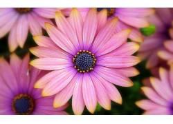46291,地球,非洲的,雏菊,花,粉红色,花,雏菊,壁纸
