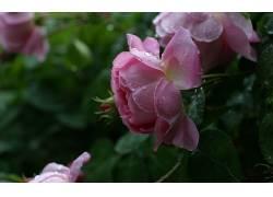 12932,地球,玫瑰,花,壁纸