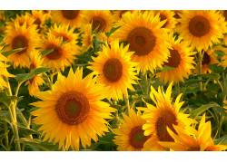 117647,地球,向日葵,花,花,领域,壁纸图片