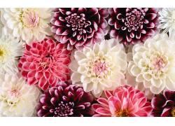 121059,地球,大丽花,花,红色,粉红色,白色,花,壁纸