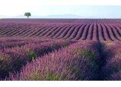 85670,地球,淡紫色,花,领域,紫色,树,壁纸图片