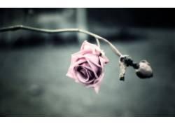 120277,地球,玫瑰,花,花,粉红色,玫瑰,自然,壁纸图片