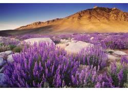 121113,地球,狼的,自然,弹簧,花,山,紫色,花,壁纸