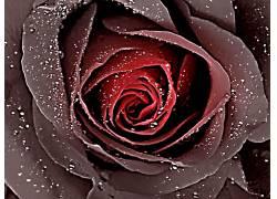 121219,地球,玫瑰,花,壁纸