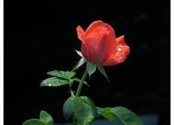 65637,地球,玫瑰,花,壁纸