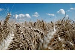 121270,地球,小麦,壁纸图片