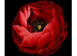 65650,地球,花,花,红色,花,壁纸