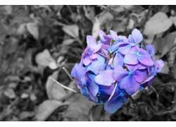 89250,地球,绣球花,花,选择的,颜色,壁纸