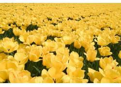 38952,地球,郁金香,花,黄色,花,花,壁纸图片