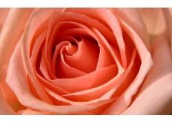 71215,地球,玫瑰,花,壁纸