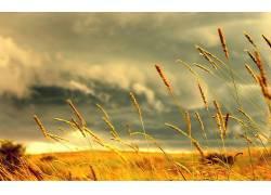 42785,地球,领域,小麦,自然,日落,天空,风景,壁纸图片
