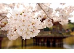 公园樱花壁纸图片