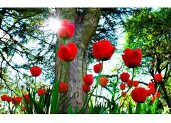 114363,地球,郁金香,花,花,红色,花,壁纸