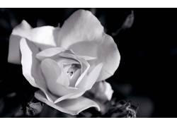 110685,地球,玫瑰,花,花,壁纸
