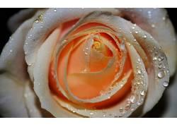 110726,地球,玫瑰,花,花,水,滴,壁纸