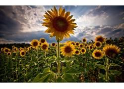114698,地球,向日葵,花,植物,花,自然,黄色,花,夏天,壁纸图片