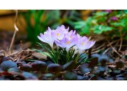 114975,地球,藏红花,花,花,壁纸图片