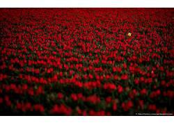 111985,地球,郁金香,花,花,红色,花,壁纸图片