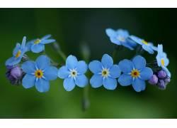 115108,地球,勿忘我,花,花,壁纸图片