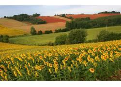 115420,地球,向日葵,花,花,风景,领域,壁纸图片