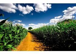 112147,地球,领域,玉米,壁纸