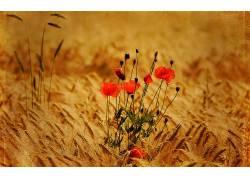 113230,地球,罂粟,花,壁纸图片