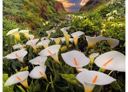 116784,地球,马蹄莲,莉莉,花,花,马蹄莲,壁纸图片