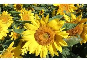 280992,地球,向日葵,花,壁纸
