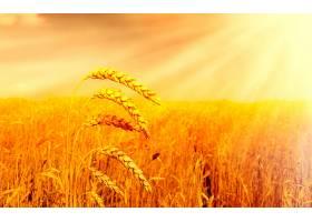 281086,地球,小麦,壁纸
