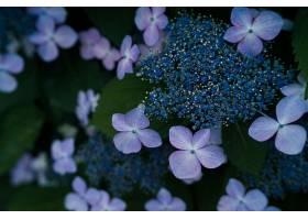267925,地球,花,花,绣球花,壁纸