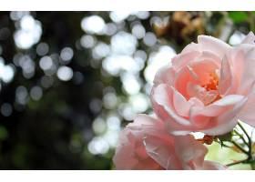 231917,地球,玫瑰,花,花,Bokeh,壁纸