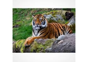 岩石上休息的老虎