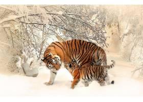 雪地上老虎母子