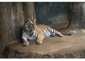 野生动物园老虎摄影